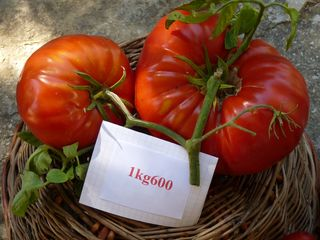 Le coin bleu tomates 1 kilo